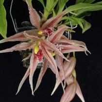 Пафиния маджестик (Paphinia x majestic)