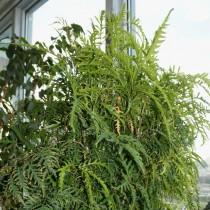 Полисциас папоротниколистный (Polyscias filicifolia)