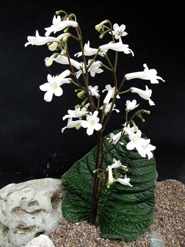 Стрептокарпус Вендленда (Streptocarpus wendlandii)