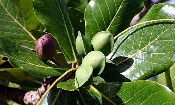tropical-almond-2