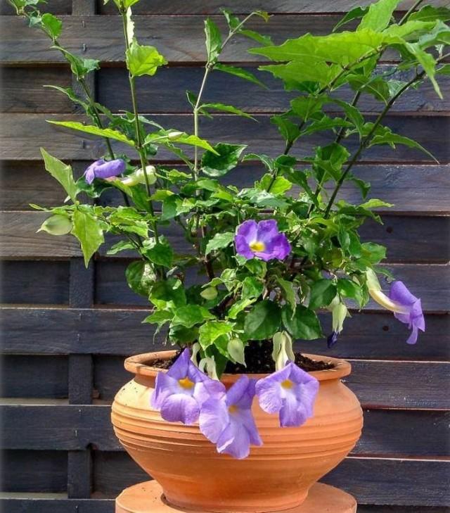 Как и на садовых тунбергиях, на комнатной тунбергии прямостоячей следует регулярно прищипывать отцветающие цветки