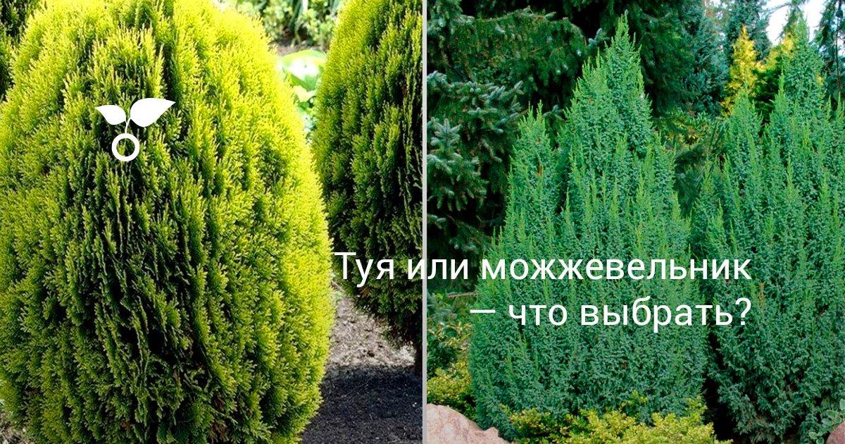 Хвойные растения можжевельник и туя для сада