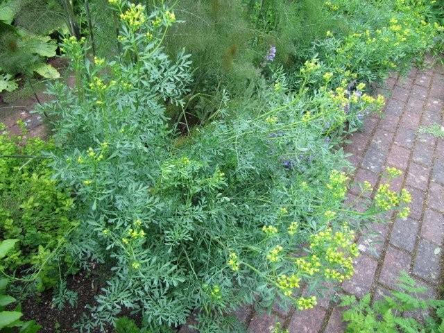 Рута пахучая или душистая (Rutaceae graveolens L.)