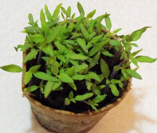 Без вовремя проведенной пикировки сеянцы томатов не смогут нормально развиваться