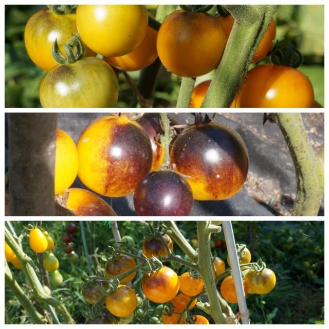 Томат черри «Лесной-голубой шмель» (Bosque Blue Bumblebee)