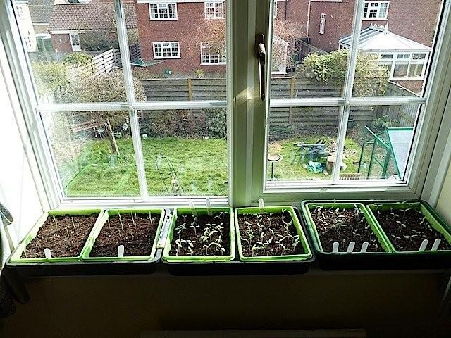 При расположении посевов на подоконнике семенам придется прорастать при температуре около +20С
