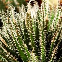 Алоэ хавортиевидное (Aloe haworthioides)