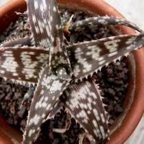 Алоэ Рауха (Aloe rauhii)