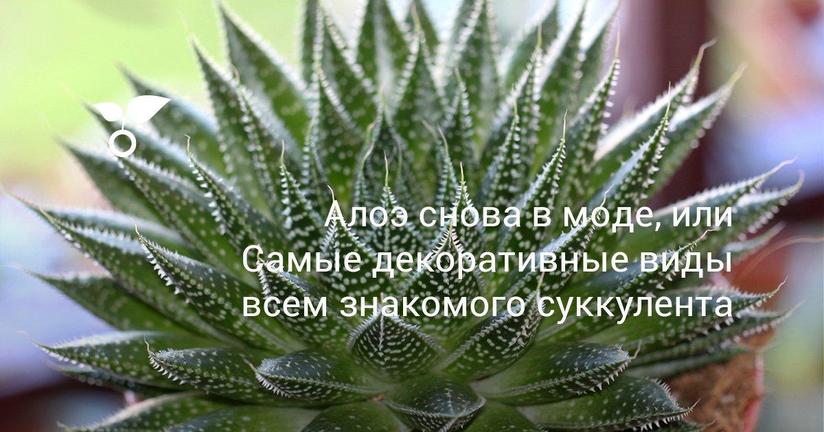 Алоэ черноколючковое