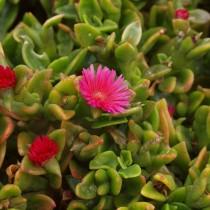 Мезембриантемум ланцетолистный, или Аптения ланцетолистная (Mesembryanthemum lancifolium)