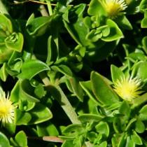 Аптения Геккеля (Aptenia haeckeliana), или Мезембриантемум Геккеля