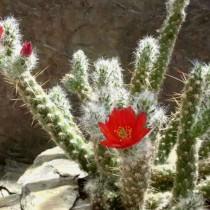 Домашний кактус опунция- фото видов, посадка, уход в домашних условиях и методы размножения