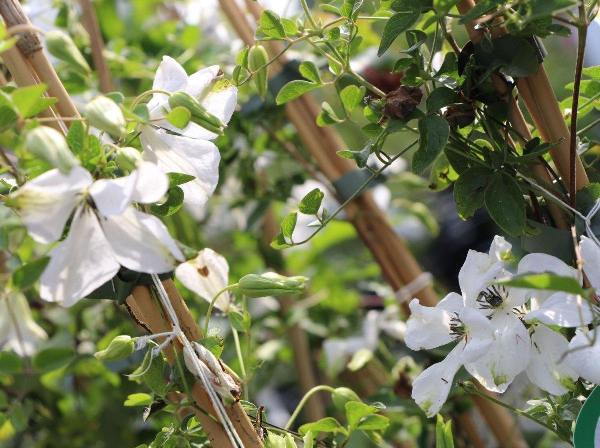 clematis-viticella-alba-luxurians-2