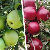 """Многосортовое дерево-сад """"Яблоня Симиренко - Мекинтош"""" с двумя привитыми сортами"""