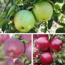 """Многосортовое дерево-сад """"Яблоня Симиренко - Спартан - Мекинтош"""" с тремя привитыми сортами"""
