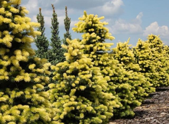 Голубая ель (Picea pungens) сорта Maigold