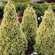 Ель канадская (Picea glauca) Daisy's White