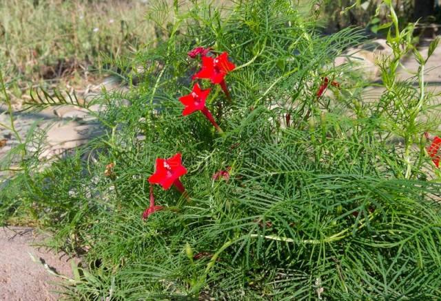 Ипомея квамоклит перистый (Ipomoea quamoclit pennata)