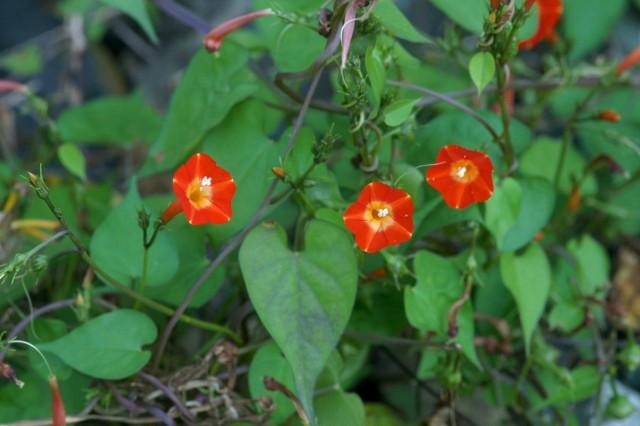 Ипомея квамоклит огненно-красный (Ipomoea coccinea)