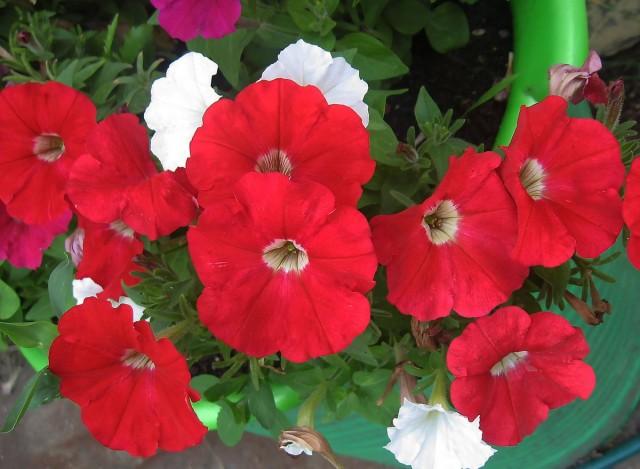 Ампельная петуния Picobella Red
