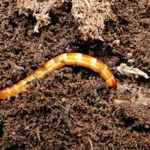 Проволочник — личинка жука-щелкуна