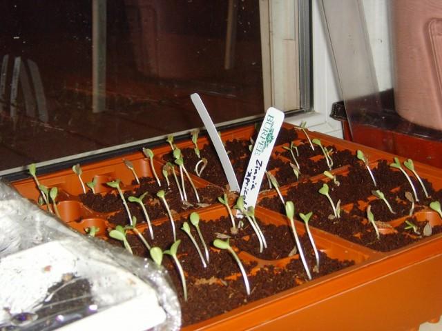 Для циннии вполне подойдет универсальная почва для рассады - цветочной или овощной