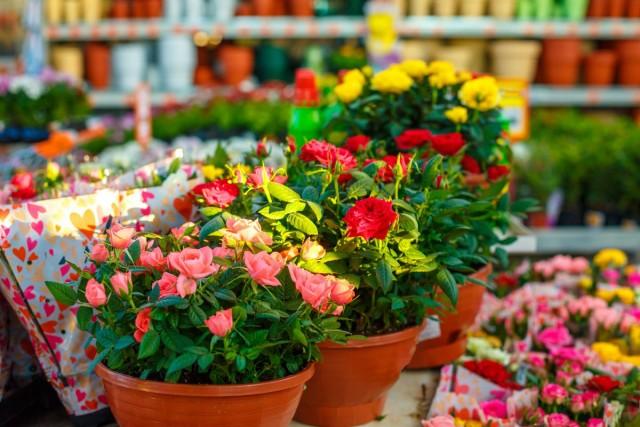 Главный секрет успешного выращивания комнатных роз - правильный выбор вида растения