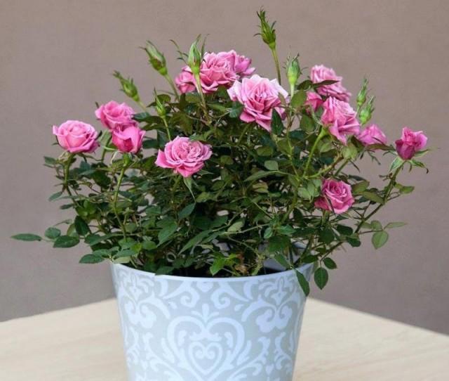 Основное формирование и обрезку побегов проводят только после завершения цветения комнатной розы
