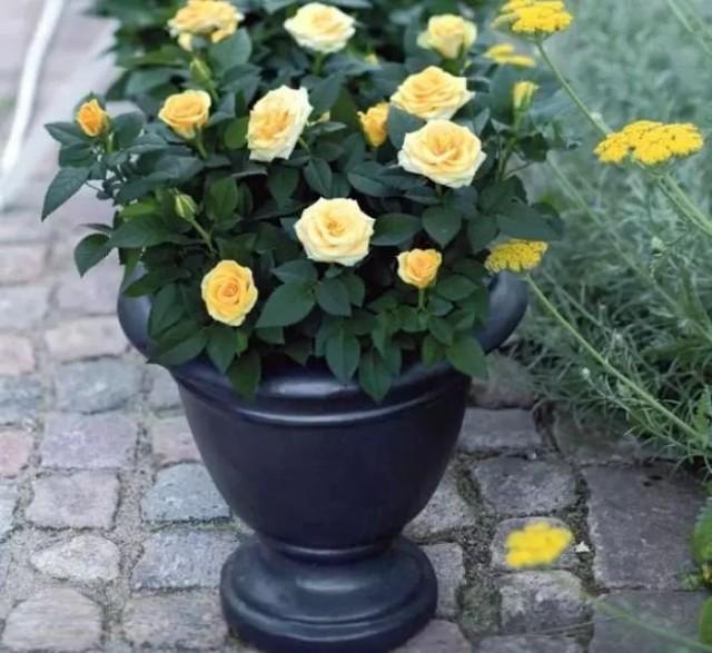 Комнатные розы большие любительницы свежего воздуха
