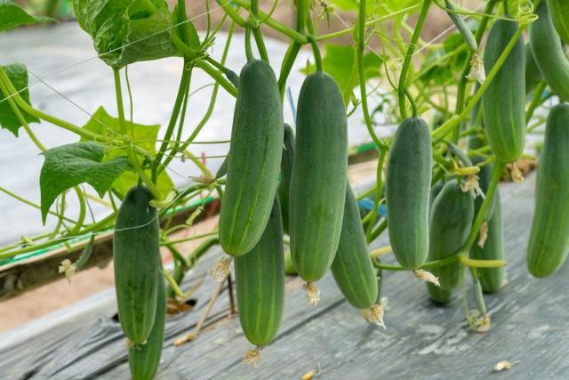 Очень хорошо на состоянии огуречных растений сказывается их мульчирование