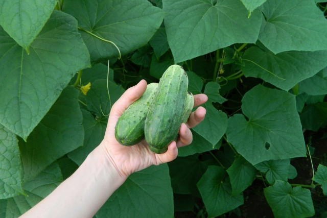 В среднем, за сезон для хорошего плодоношения огурцы нужно подкормить не менее 5 раз