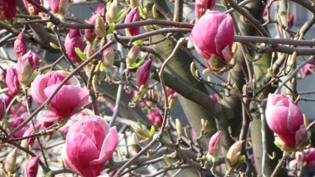Магнолия (Magnolia)