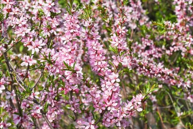 Миндаль степной (Prunus tenella)