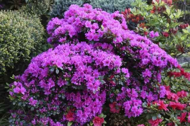 Азалия японская (Azalea japonica)