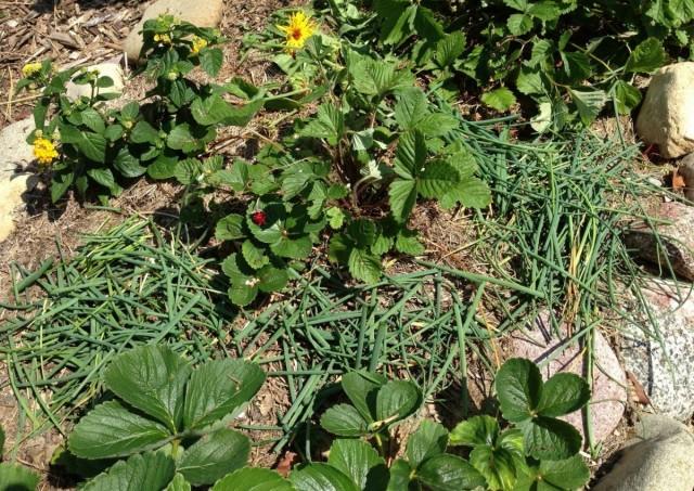 Мульчирование клубничных грядок травой, сорняками, растительными остатками