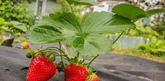 9 лучших материалов для мульчирования земляники садовой
