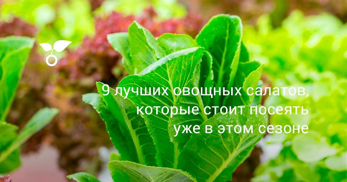 Лучшие сорта салата для открытого грунта и теплиц – условия выращивания – 4 Сезона огородника