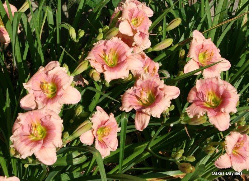 Hemerocallis-Janice-Brown-101