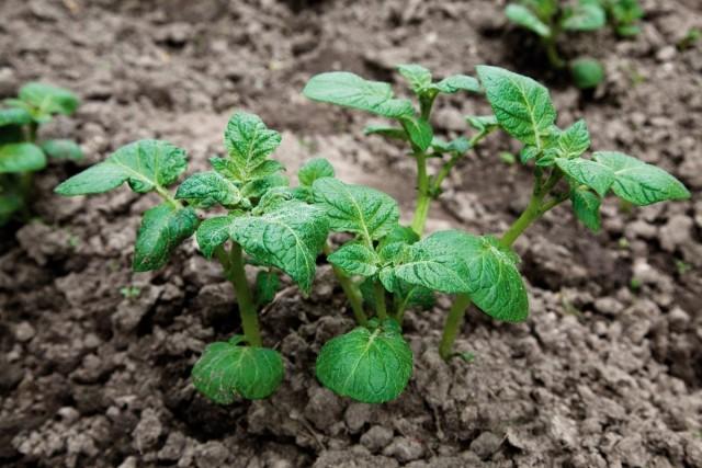 Гербицид избирательного действия «Лазурита» не наносит вреда всходам картофеля