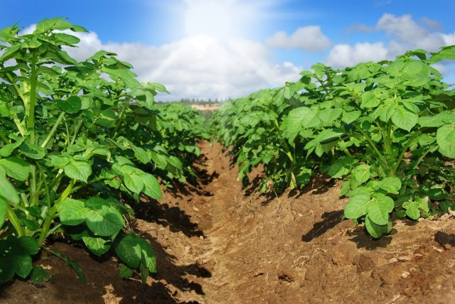Что нужно, чтобы получить хороший урожай картофеля?