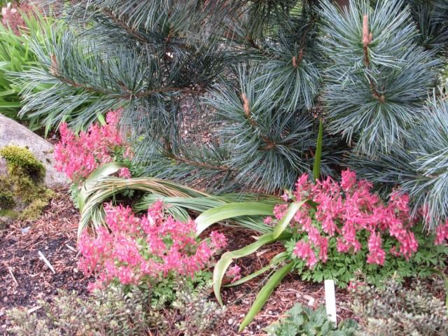 Время цветения хохлатки начинается ближе к концу апреля