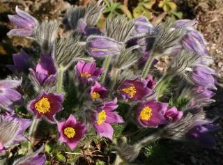 Колокольчатые цветки прострела могут иметь различную окраску