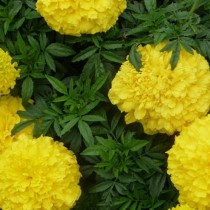 Прямостоячие бархатцы (Tagetes erecta) Lemon Queen