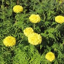 Прямостоячие бархатцы (Tagetes erecta) Zitronen prinz