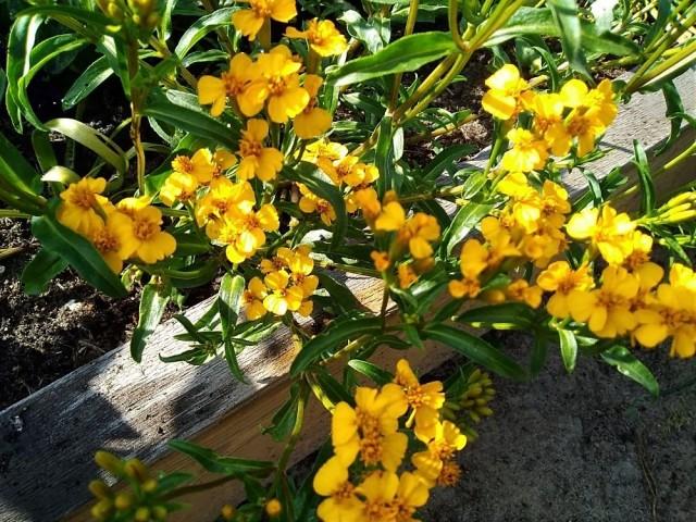 Бархатцы анисовые (Tagetes anisata) «Анисовый аромат»