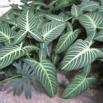 Каладиум Линдена (Caladium lindenii)