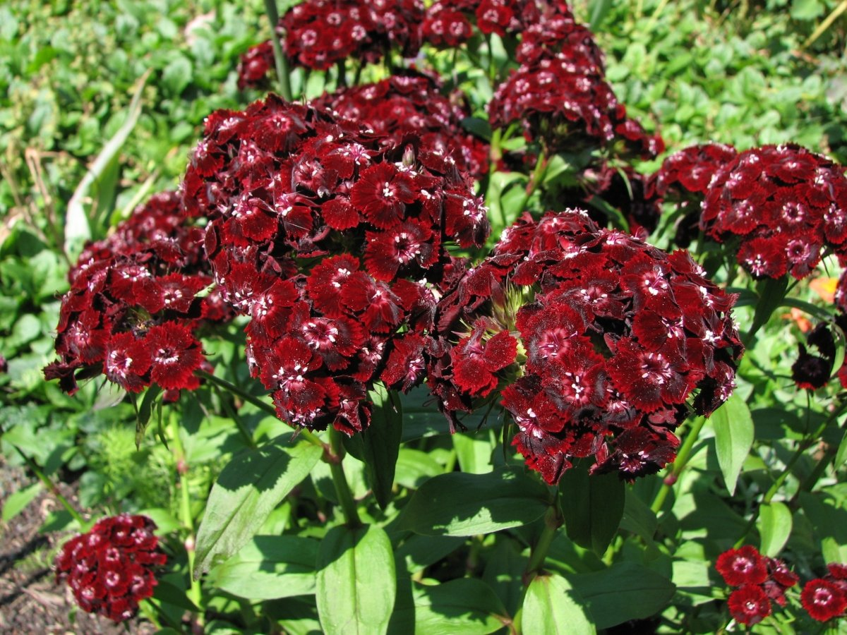 dianthus-heart-attack-1