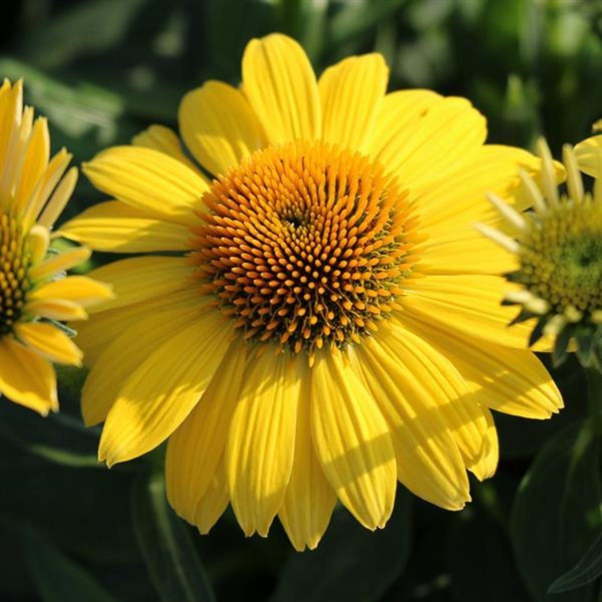 echinacea-sombrero-lemon-yellow-1