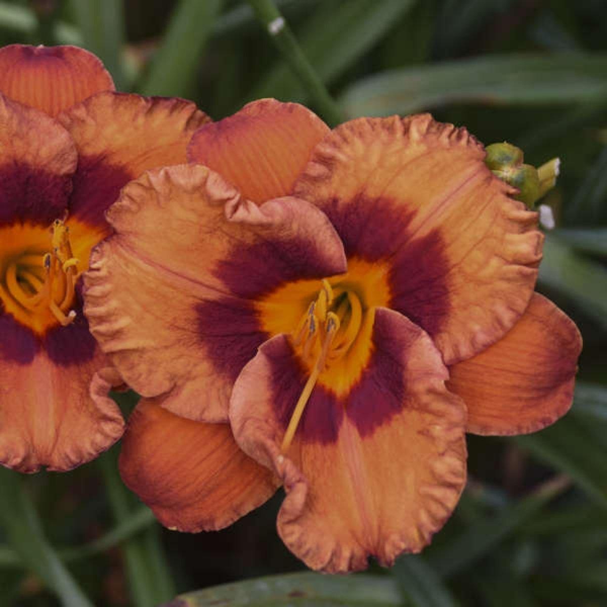 hemerocallis-mighty-chestnut-1