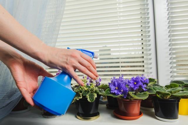Внекорневые подкормки фиалок можно проводить только с помощью туманных распылителей и очень осторожно
